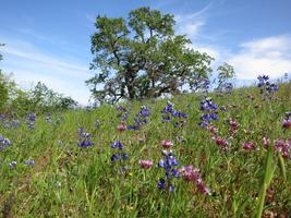 Habitat Restoration: Volunteer @ Arastradero Preserve