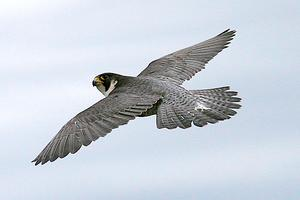 2015 Party for the Peregrines