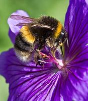 The Local Buzz: Supporting Native Bees & Pollinators