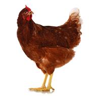 Spring Chicken Ceilidh
