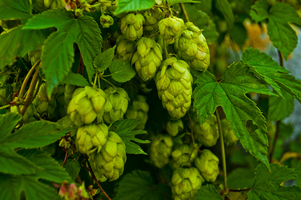Top Hops: Exploring the Most Flavorful Part of Beer