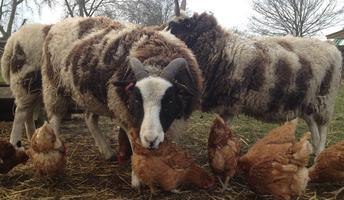 Sheep Shindig - Evening Banquet / Sunday Lunch