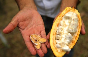 Cacao Growing and Fermentation Competition