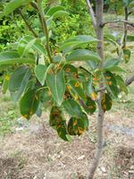 Preventing Disease in Fruit Trees