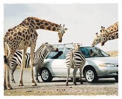 Visite du parc African Lion Safari