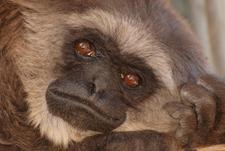 Gibbon Conservation Center logo