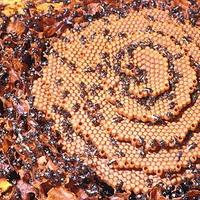 Stingless Beekeeping: 19 Oct 2013: Sydney