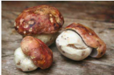 Porcini Wild Mushroom Adventure Saturday June 8th