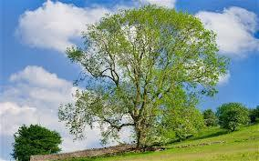 Walking With Poets - Ash - Tree Folklore - talk and...