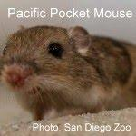 Summer Lecture Series - The Endangered Pacific Pocket Mouse