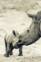 The Changing Face of the Rhino