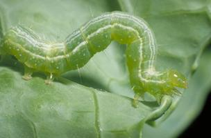 UF/IFAS Extension: Managing Pests in the Vegetable Garden