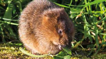 Water Voles: Britain's fastest disappearing mammal and...