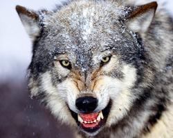 AFP CA: Wolves in Government Clothing