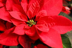 Peace Poinsettia Sale