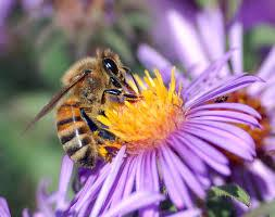 Planting for Honey Bees and Native Pollinators