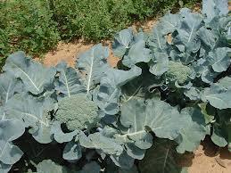 Organic Methods in the Home Vegetable Garden