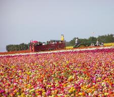 The Flower Fields logo