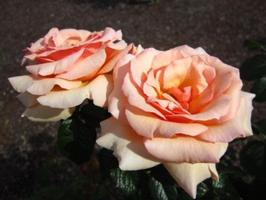 Yes You Can! Grow Beautiful Roses