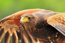 The Avian Conservation Center logo