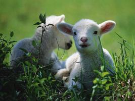 Spring Lambs & Farm Plans