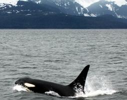 Pirates or Protesters?: Institute of Cetacean Research v....