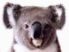 The Motivated Koala logo