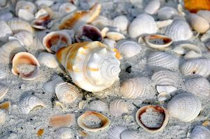 Florida Shell Collecting