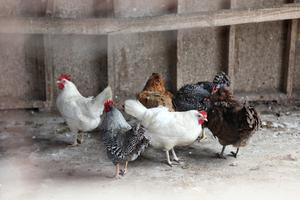 Raising Chickens & Ducks {Free Class}