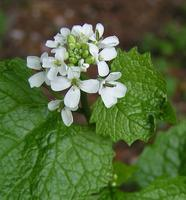 Garlic Mustard Pull CANCELLED