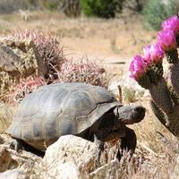 Desert Tortoise Surveying and Monitoring