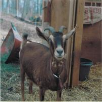 Dairy Goats for Beginners!
