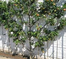 Espalier Fruit Tree Workshop