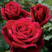 Garden Class: Easy Grow Roses