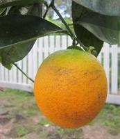 Fruit Trees for Florida