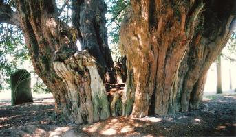 Ancient and Veteran Trees