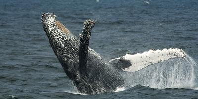 2014 ACS/LA's Summertime Blues (and Humpbacks!!) Whale...
