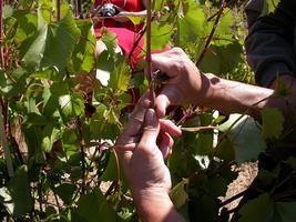 Budding Propagation of Woody Plants