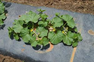 Organic Cucurbit Variety Selection and Seed Saving Fiel...