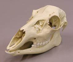 Skins and Skulls