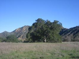Malibu Creek State Park - Oak Woodland Restoration