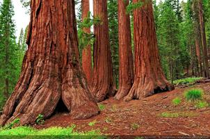 Trees of Yosemite: Threatened Treasures - with Park...