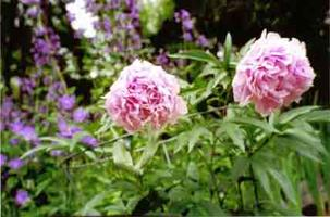 "Workshop: ""Fall Gardening:  Dividing Peonies & Other..."