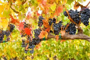 Wine Club Harvest Pick Up Event