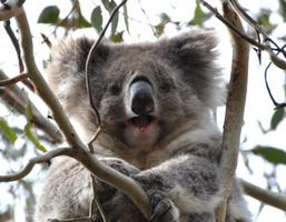Koala Conservation Day for Locals