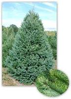 X-Mas Tree Sale to Support Youth Athletes