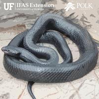 Snakes In Polk County