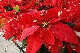 Holiday Plants (Jessie Brock Community Center)