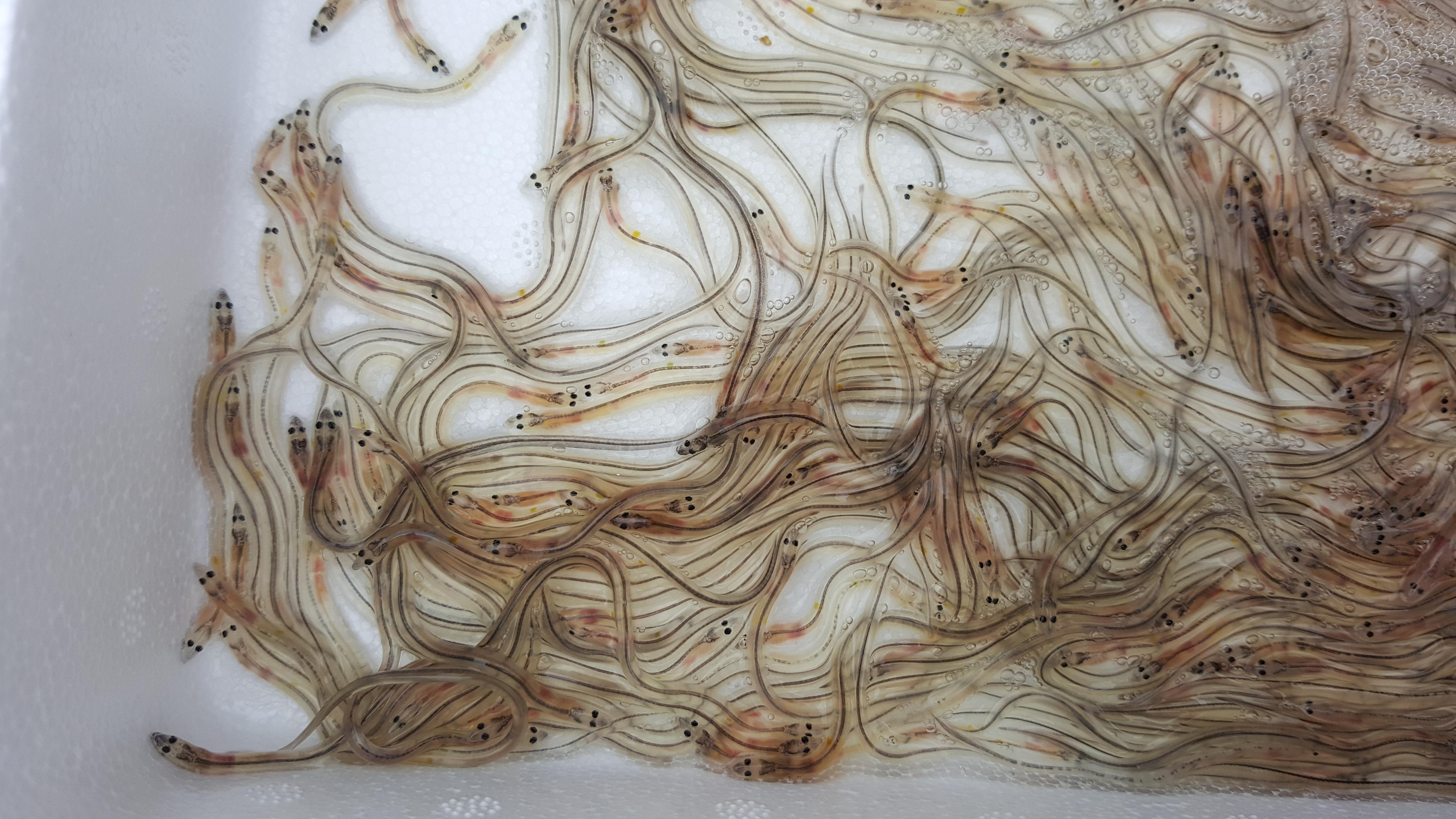 The Scottish Eel Conference (Postponed)