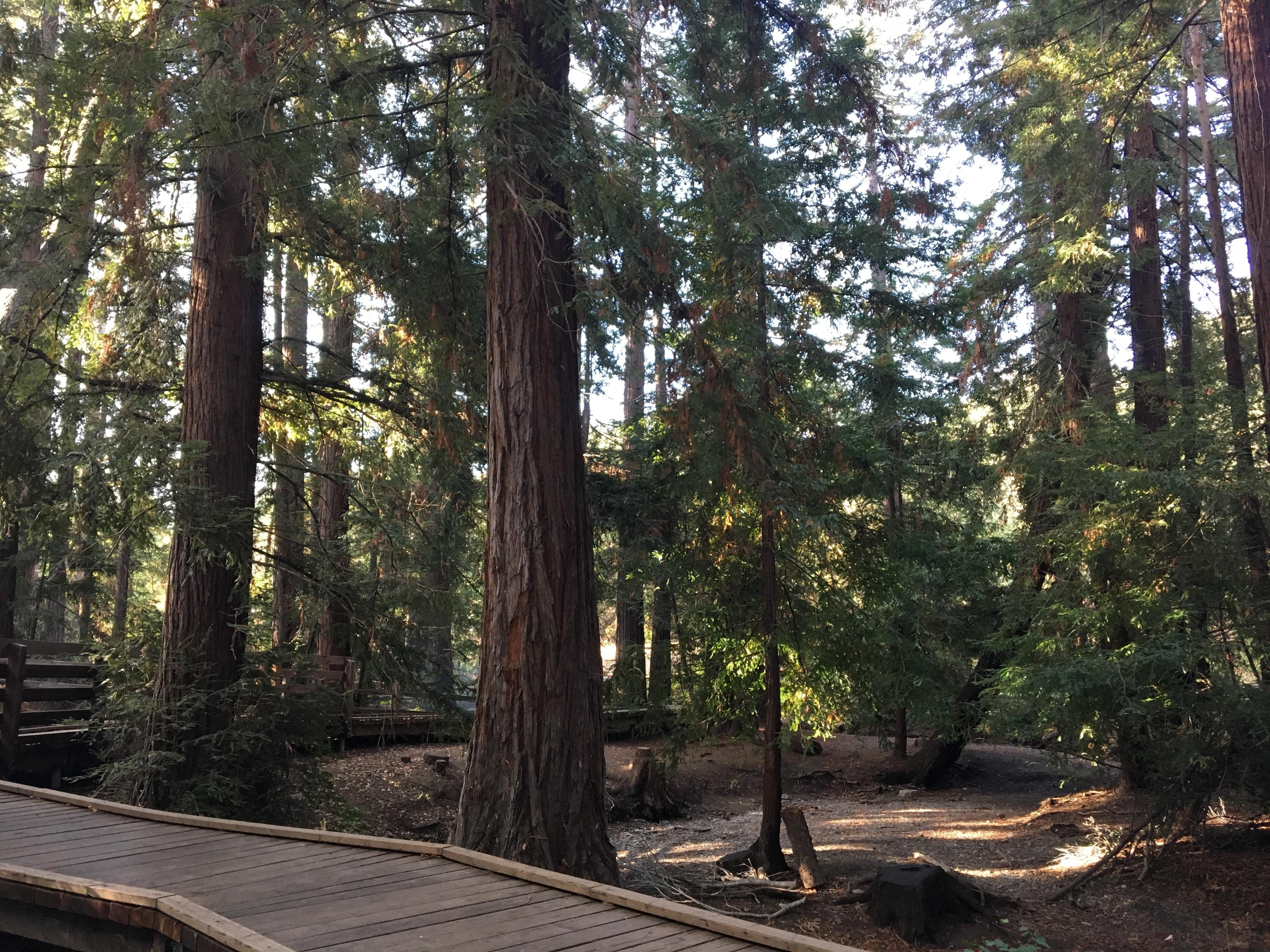 Volunteer Outdoors in Los Altos: Sorrel Saturdays at Redwood Grove